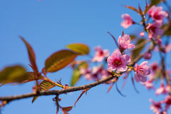 Wild Himalayan Cherry Sakura blossom border Royalty Free Stock Photo