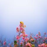 Wild Himalayan Cherry Sakura blossom border Royalty Free Stock Image