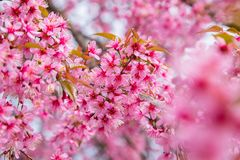 Wild Himalayan Cherry Sakura of Thailand at Khunwang Royal Project Foundation, Chiang Mai. Thailand Stock Photography