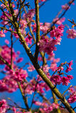 Wild Himalayan Cherry or Sakura , Thailand Royalty Free Stock Photography