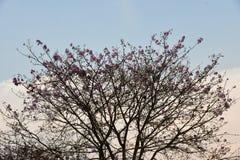 Wild Himalayan Cherry, Sangklaburi, Thailand Stock Photo