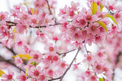 Wild Himalayan Cherry spring blossom Royalty Free Stock Images