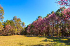 Wild Himalayan Cherry spring blossom Royalty Free Stock Photo
