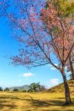Wild Himalayan Cherry spring blossom Stock Photo