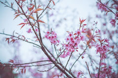 Wild Himalayan Cherry spring blossom Stock Images