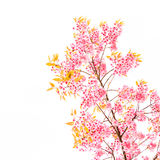 Wild Himalayan Cherry spring blossom on white background Stock Photos