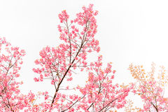Wild Himalayan Cherry spring blossom on white background Royalty Free Stock Photo