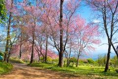 Wild Himalayan Cherry. In sunshine day Stock Photography