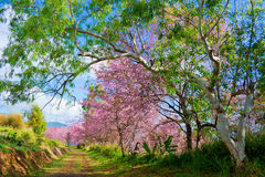 Wild Himalayan Cherry. In sunshine day Royalty Free Stock Photography