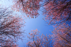 Wild Himalayan cherry. Swing angle view of pink wild Himalayan cherry flowers with blue sky Royalty Free Stock Photo