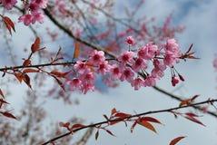 Wild Himalayan Cherry,Thai sakura. Beautiful Wild Himalayan Cherry blossom in north of Thailand Royalty Free Stock Photography