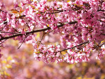 Wild Himalayan Cherry, Thai sakura. Prunus cerasoides, Wild Himalayan Cherry, Thai sakura Stock Photo