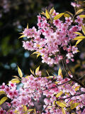Wild Himalayan Cherry, Thai sakura Stock Photo