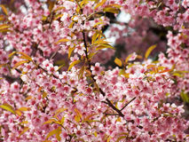 Wild Himalayan Cherry, Thai sakura Royalty Free Stock Photos