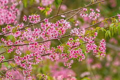 Wild himalayan cherry on tree in Chiang Mai province, Thailand Stock Image