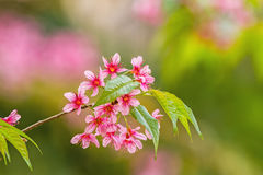 Wild himalayan cherry on tree in Chiang Mai province, Thailand ,soft focus Stock Image