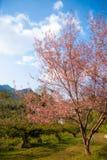 Wild Himalayan cherry tree at Doi Ang Khang, Chiang Mai Stock Photography