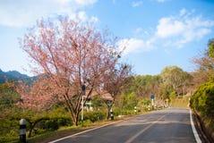 Wild Himalayan cherry tree at Doi Ang Khang, Chiang Mai Stock Photos