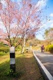 Wild Himalayan cherry tree at Doi Ang Khang, Chiang Mai Royalty Free Stock Image