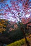 Wild Himalayan cherry tree at Doi Ang Khang, Chiang Mai Royalty Free Stock Photography