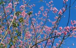 Wild Himalayan Cherry tree Royalty Free Stock Photo