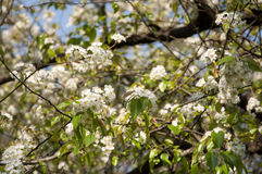 The Wild Himalayan Pear in Bloom Royalty Free Stock Photography