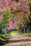 Wild himilayan cherry blossom stock images