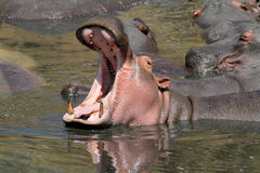 Wild hippo Royalty Free Stock Photography