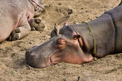 Wild hippo sleeping on the sand, Kruger, South Africa Stock Images