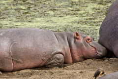 Wild hippo sleeping on the sand, Kruger, South Africa Stock Photography