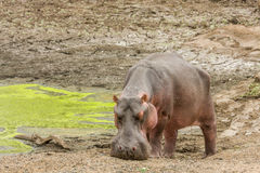 Wild hippo standing in the riverbank,  in Kruger park Stock Photos