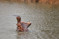 Wild Hippopotamus Royalty Free Stock Photography