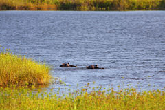 Wild Hippopotamus Stock Photo