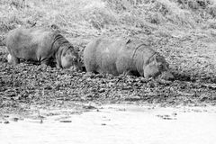 Wild Hippopotamus Royalty Free Stock Photos