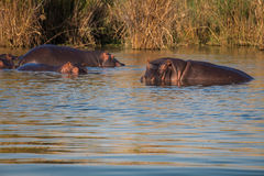 Wild Hippopotamus Royalty Free Stock Photography
