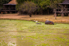 Wild Hippopotamus Stock Image
