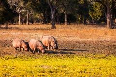 Wild Hippopotamus Stock Photography
