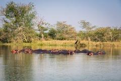 Wild Hippopotamus Stock Photo