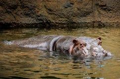 Wild Hippopotamus. A large Hippopotamus getting out of the water to sunbathe stock photos