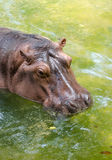 Wild hippopotamus Stock Images