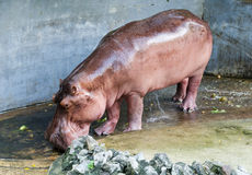 Wild hippopotamus take a shower Stock Photography