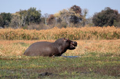 Wild hippopotamus in waterhole, Mahango game park Stock Photos