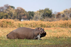 Wild hippopotamus in waterhole, Mahango game park Stock Photo