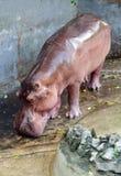 Wild hippopotamus in zoo Stock Photo