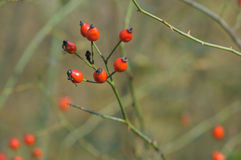 Wild hips. Royalty Free Stock Photo