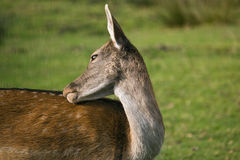 wild hjortar Royaltyfri Foto