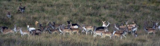 wild hjortar Arkivbilder