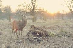 wild hjortar Royaltyfria Bilder