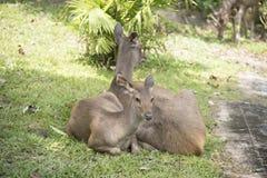 Wild hjortar i det wild Arkivfoto