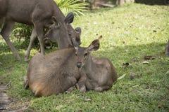 Wild hjortar i det wild Royaltyfri Fotografi